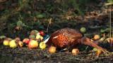 311:365pleasant pheasant food