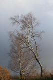 336:365leafless silver birches
