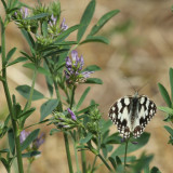 180:365marbled white butterfly