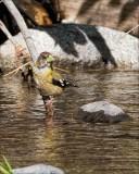 Finches, Buntings, Grosbeaks