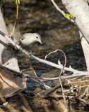 Shrikes and Vireos