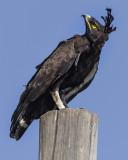 EAGLES, KITES & HAWKS