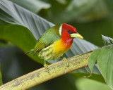 RED-HEADED BARBET ♂