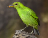 GREEN HONEYCREEPER ♀