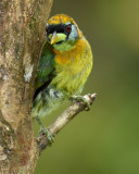 RED-HEADED BARBET ♀