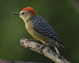 RED-CROWNED WOODPECKER ♂