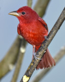 SUMMER TANAGER ♂