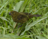 VARIABLE SEEDEATER ♀