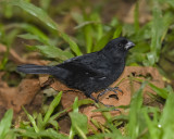 VARIABLE SEEDEATER ♂