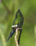 GREEN THORNTAIL ♂