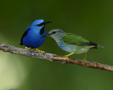 SHINING HONEYCREEPER ♂ AND ♀