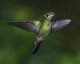GREEN-CROWNED BRILLIANT ♀