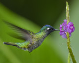 VIOLET-HEADED HUMMINGBIRD