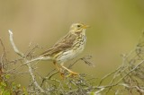Meadow pipits - Anthus pratensis