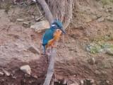 Kingfishers 2013