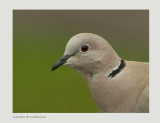 Collared Doves - Streptopelia decaocto