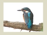 Breeding Kingfishers 2013