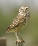 Florida Burrowing Owl - Athene cunicularia floridana