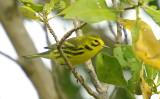 Prairie Warbler - Dendroica discolor