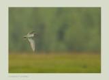 White-rumped Sandpiper (Calidris fuscicollis)