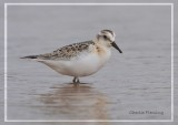 Sanderling- Calidris alba