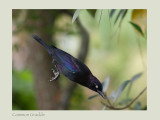 Common Grackle -Quiscalus quiscula