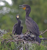 Double Crested Cormorant - Phalacrocorax auritus
