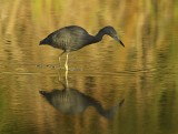 Little Blue Heron - Egretta cearulia