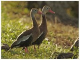 Black Bellied Whistling Duck - Dendrocygna autumnalis