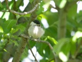 Willow Tit-Poecile montanus