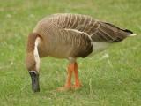 Swan Goose (Anser cygnoides)