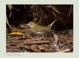 Oven Bird - Seiurus aurocapillus