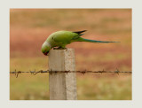 Ring- Necked Parakeet -  Psittacula krameri