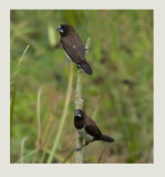 White-rumped Munia Lonchura striata
