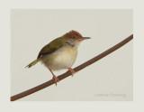 Common Tailorbird Orthotomus sutorius