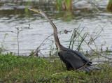 Indian Darter (Anhinga melanogaster )
