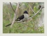 Pied Cuckoo or Jacobin Cuckoo (Clamator jacobinus)