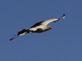 Palmnut Vulture -  Gypohierax angolensis