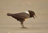 Pied Crow - Corvus albus