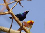 Purple Glossy  Starling - Lamprotornis purpureus