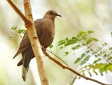 Red - eyed Dove Streptopelia semitorquata