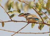 Striped Kingfisher  - Halcyon chelicuti