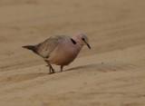 Vinaceous dove (Streptopelia vinacea)