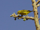 African Yellow White-eye.