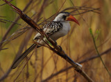 Northern Red-billed hornbill (Tockus erythrorhynchus)