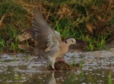 African Mourning dove - Streptopelia decipiens