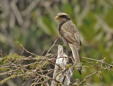 Yellow-billed Shrike -  (Corvinella corvina)