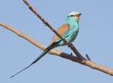 Abyssinian roller (Coracias abyssinicus)