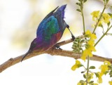 Splendid Sunbird (Cinnyris coccinigastrus)