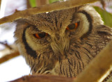 Northern White-faced Owl - Ptilopsis leucotis